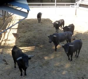 Los seis toros de Miura en un corral del Gas.