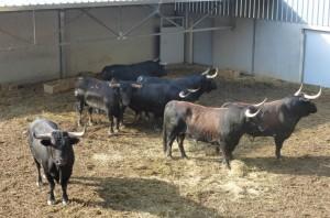 Los siete toros de Conde de la Maza que descansan en el Gas.