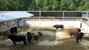 Los toros de Garcigrande en el Gas.