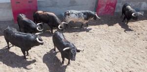 Los toros de José Luis Marca en los corrales de la calle Frauca. Fotografía: Diario de Navarra, delegación de Tudela.
