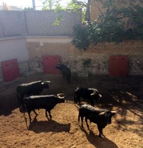 Los ejemplares de Toros de Salvador Domecq en un corral de la calle Frauca.
