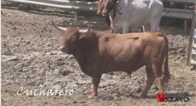 Toro Cucharero, de Reta de Casta Navarra, uno de los toros destinados al congreso de Lodosa. Imagen: Vaquero.