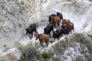 Las vacas de Lastur al comienzo del trayecto de El Pilón. Fotografía: Eduardo Buxens