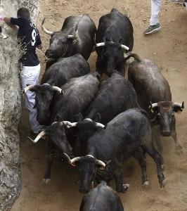 Un corredor al límite entre la pared y la manada de vacas.