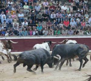 Una vez desembarcados, las peleas entre los toros de Saltillo fueron constantes. Fotografía: Arelizalde.