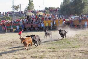 Un momento de la traída de vacas en Cintruénigo el año pasado.