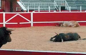 El toro comtempla a los ejemplares que acaba de matar.