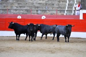 Algunos de los toros de José Escobar para rejones.
