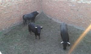 Otros tres toros