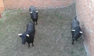 Tres toros