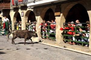 La suelta de vacas, otro elemento taurino sustancial en la fiestas de Olite.