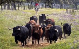 El Parlamento Europeo ha vuelto a cuestionar las ayudas a la cría de ganado bravo.