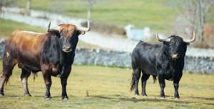 Un par de toros de Victoriano del Río en la finca de Guadalix de la Sierra.