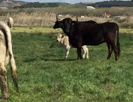 6. Vacas