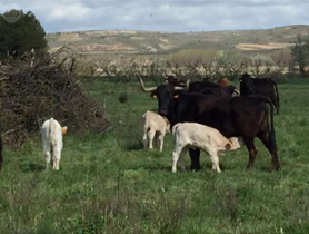 9. Vacas
