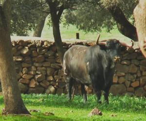 Toro 'Cumbre Negra', de Alcurrucén, el que exhibirá el domingo Lodosa por el Toro por las calles de Arroyo del Ojanco.