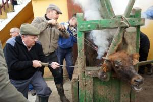 El mayoral de la ganadería, Jesús Primo, en el centro de la imagen, marca un añojo. Fotografía: Alberto Arelizalde.