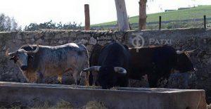 Tres toros de Cebada Gago.