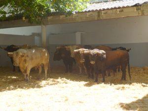Los utreros de El Parralejo, en un corral de la plaza de toros.