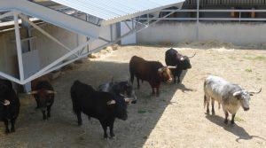Los toros de Cebada Gago fueron los primeros en pisar los corrales del Gas.