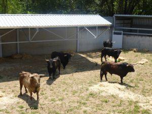 Los toros de Fuente Ymbro en un corral del Gas.