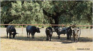 Seis toros destinados a Pamplona. Fotografías: El Moli.