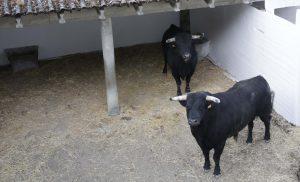 Dos de los nueve toros de El Capea. Fotografía: José Antonio Goñi.