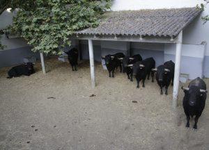Los toros permanecían alineados a media tarde de ayer. Fotografía: José Antonio Goñi.