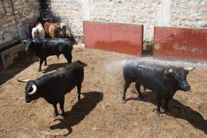 Los toros de Dolores Aguirre en los corrales de la Chata de Griseras. Fotografía: Blanca Aldanondo.