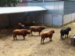 Los toros de Jandilla ocuparon el primer corral del Gas.