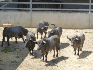 Los toros de José Escolar en los corrales del Gas.