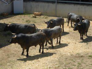 Los toros de José Escolar 7