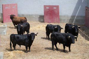 Los toros de Las Monjas en los corrales de la calle Frauca. Fotografía: Blanca Aldanondo.