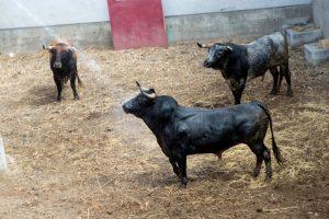 Los toros de Miura fueron refresacados nada más ser desembarcados. Fotografía: Blanca Aldanondo.