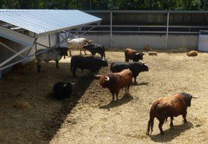 Los toros de Núñez del Cuvillo, en uno de los corrales del Gas.