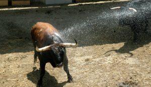 Un toro refrescándose nada más pisar el Gas. Fotografía: Casa de Misericordia de Pamplona.