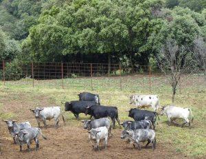 Toros de Los Maños en su finca aragonesa de Luesia.