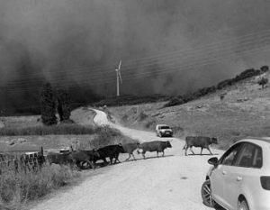 Las vacas de Ganuza Hermanos en el momento de ser evacuadas de Artajona. Fotografía: Ángel María Maín.