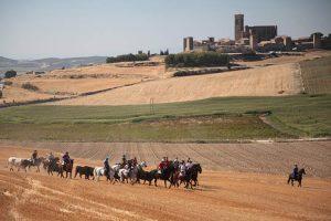 Un momento de l a traída de ganado con Artajona al fondo. Fotografía: Ahora Zona Media.