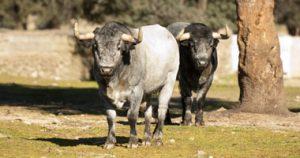 Dos toros de José Escolar de la camada para 2017.