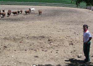 Miguel Reta en Grocin ante los machos de su ganadería.