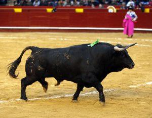 El quinto toro de Fuente Ymbro de salida, al que luego Curro Díaz le cortó una oreja. Fotografía: Arjona.