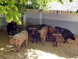 Estos son algunos de los utreros de El Parralejo que llegaron a Pamplona el año pasado.