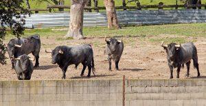 Cinco de los toros apartados para Pamplona.
