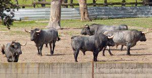 Toros para Pamplona 5