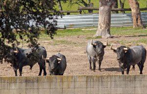 Toros para Pamplona 6
