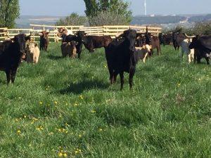 Vacas en venta 9
