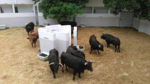 Los ocho novillos de El Parralejo llegados hasta la capital navarra. Fotografía: Policía Foral.