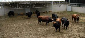 Los ocho toros llegados desde Cádiz.