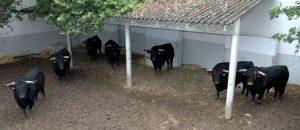 Siete de los nueve toros de El Capea en un corral de la plaza de toros de Pamplona. Fotografía: Casa de Misericordia de Pamplona.
